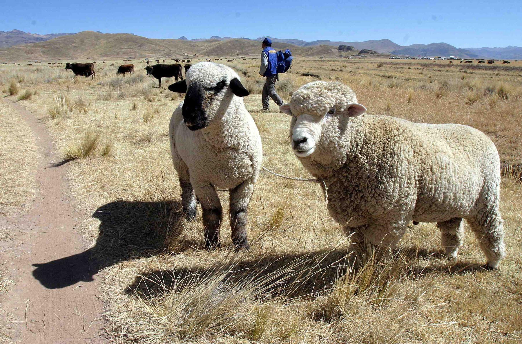 Proyecto Ovino Lechero busca mejorar la calidad de vida de los productores ganaderos de Puno.