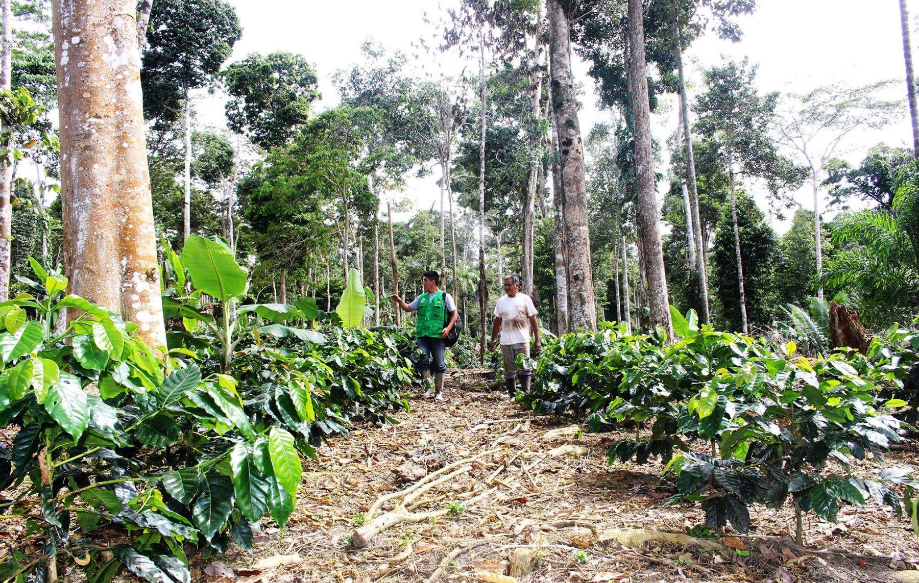 Agricultores de la provincia de Satipo mejoran sus técnicas para la producción orgánica de café. ANDINA
