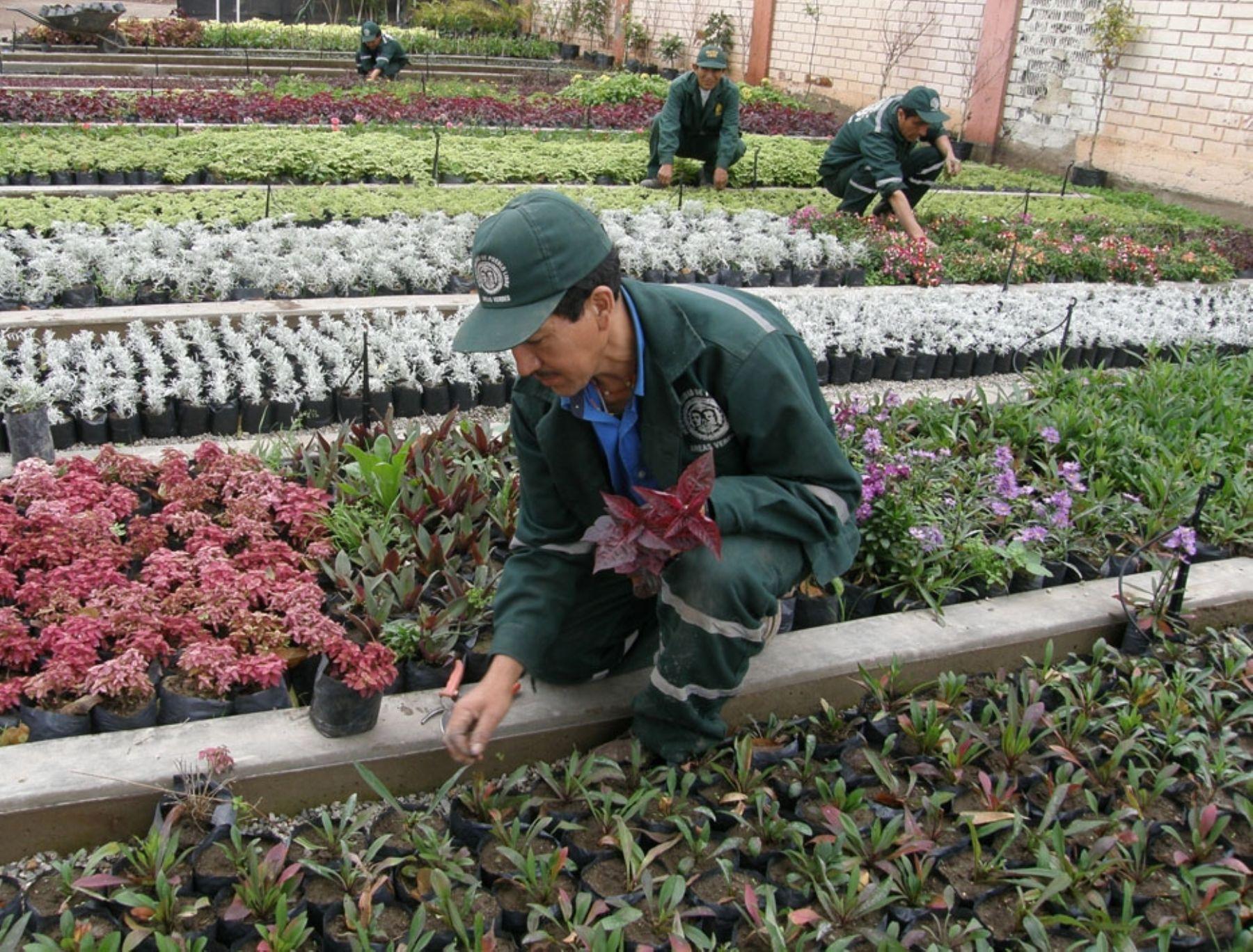 Nuevo vivero municipal de pueblo libre produce 20 mil for Viveros de plantas en lima