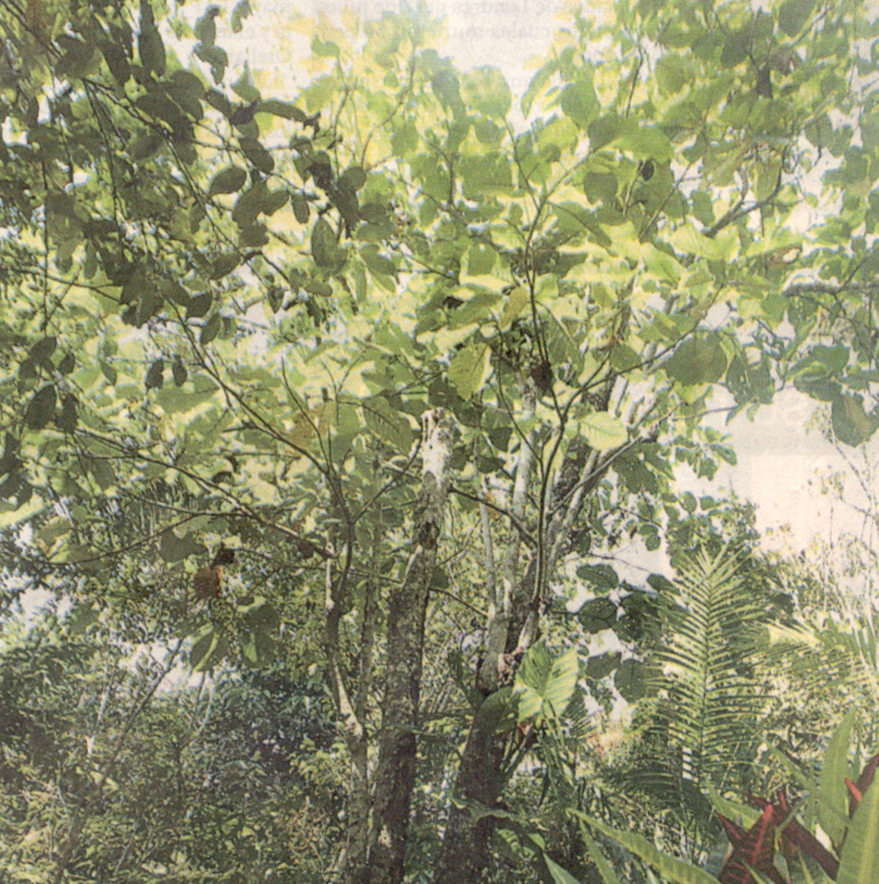 Árbol de la quina