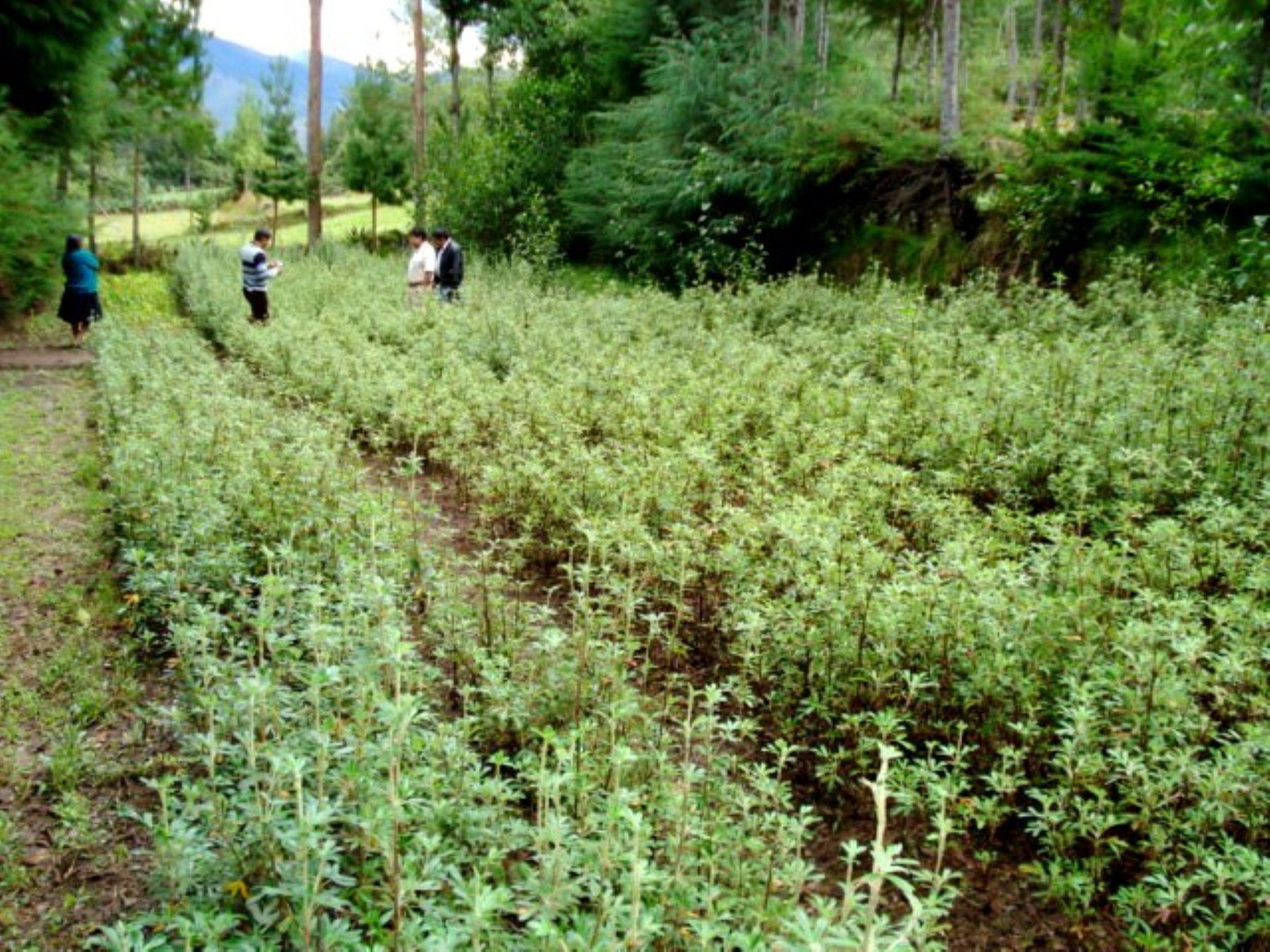 Desarrollarán inventario forestal en costa, sierra y selva del Perú para reforestación. Foto: ANDINA/Archivo.