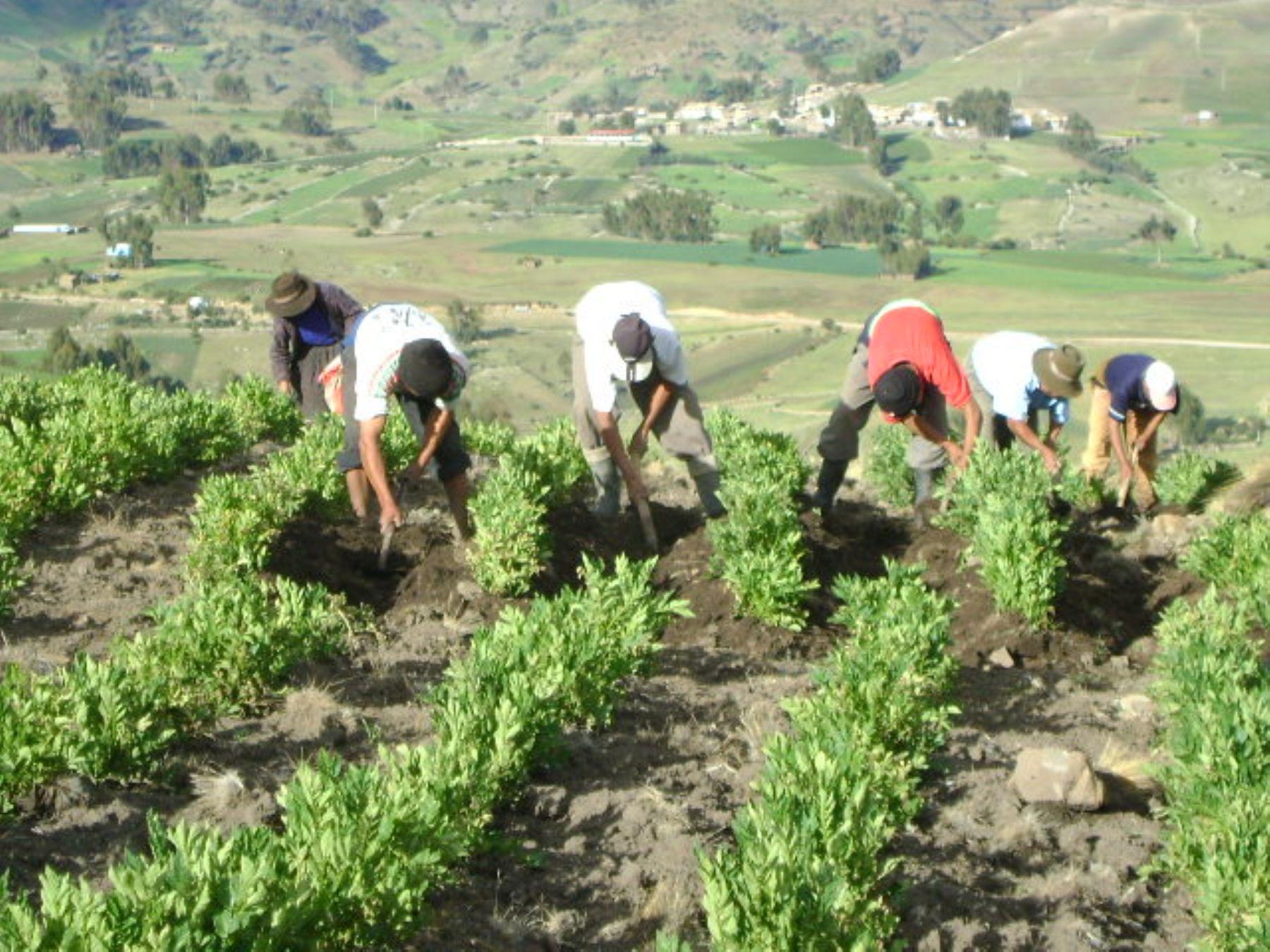 Regi n huancavelica incrementa su producci n org nica de for Como se cocinan las habas