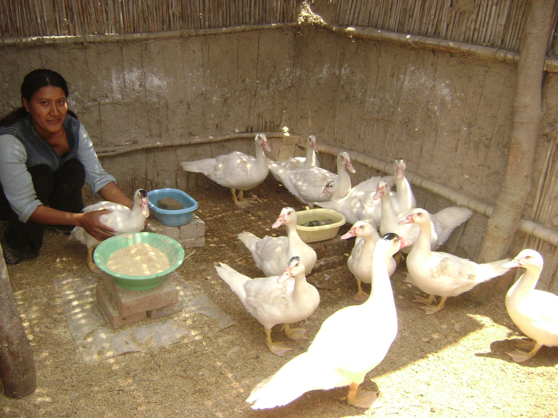 Familias pobres del distrito ferreñafano de Manuel Mesones Muro participan en proyecto productivo de crianza de patos y cuyes. Foto: ANDINA.