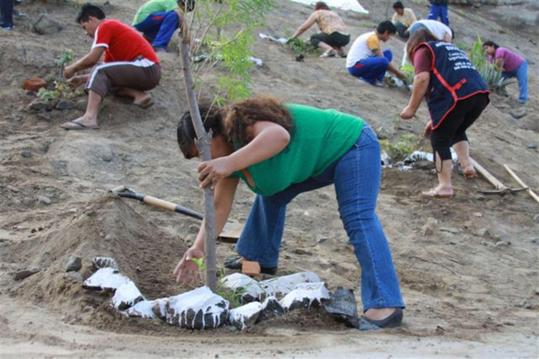 Más de ocho mil personas participaron en la siembra de 27,166 plantas de tara en apenas cinco minutos, 20 segundos y 37 centésimas, que le valió al Perú lograr un récord Guinness. Foto: AgroRural.