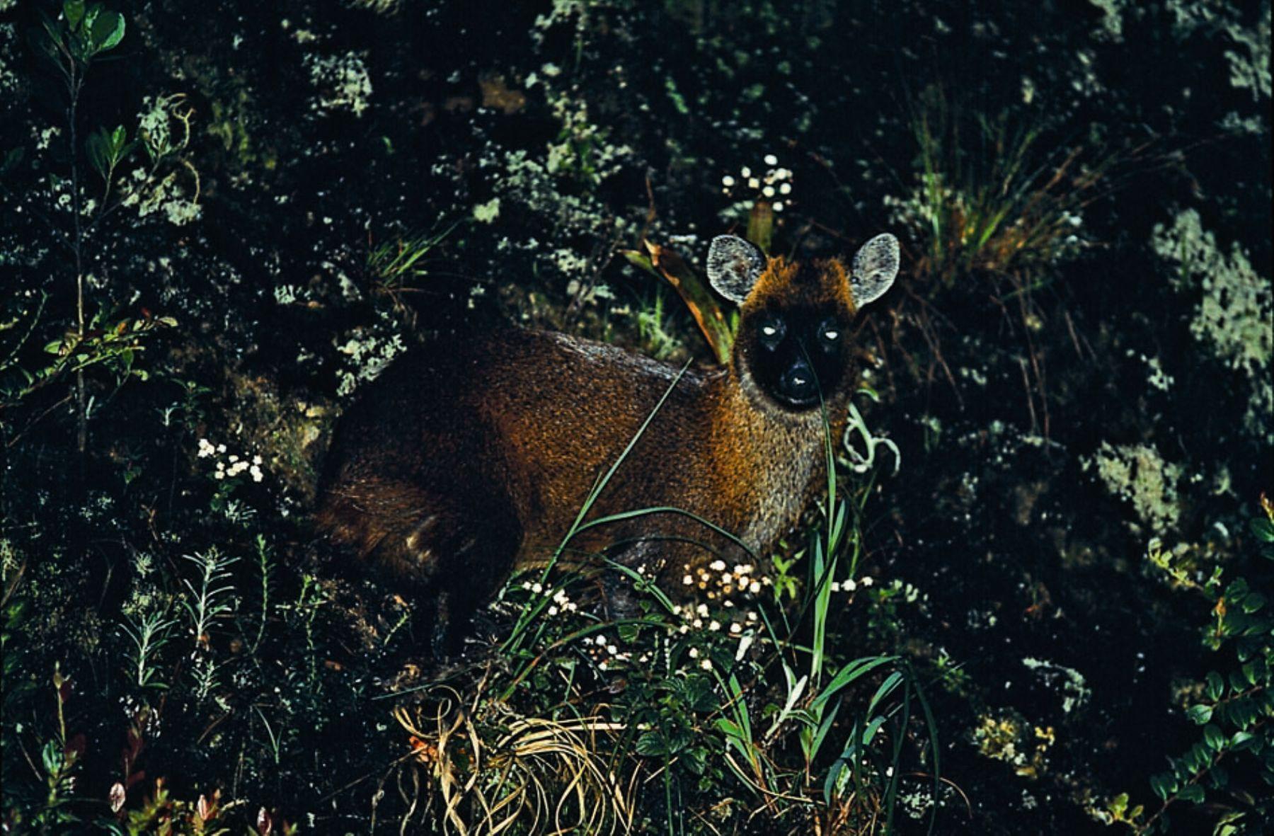 Venado enano habita en el bosque de protección Pui Pui, en Junín. Foto: Sernanp.