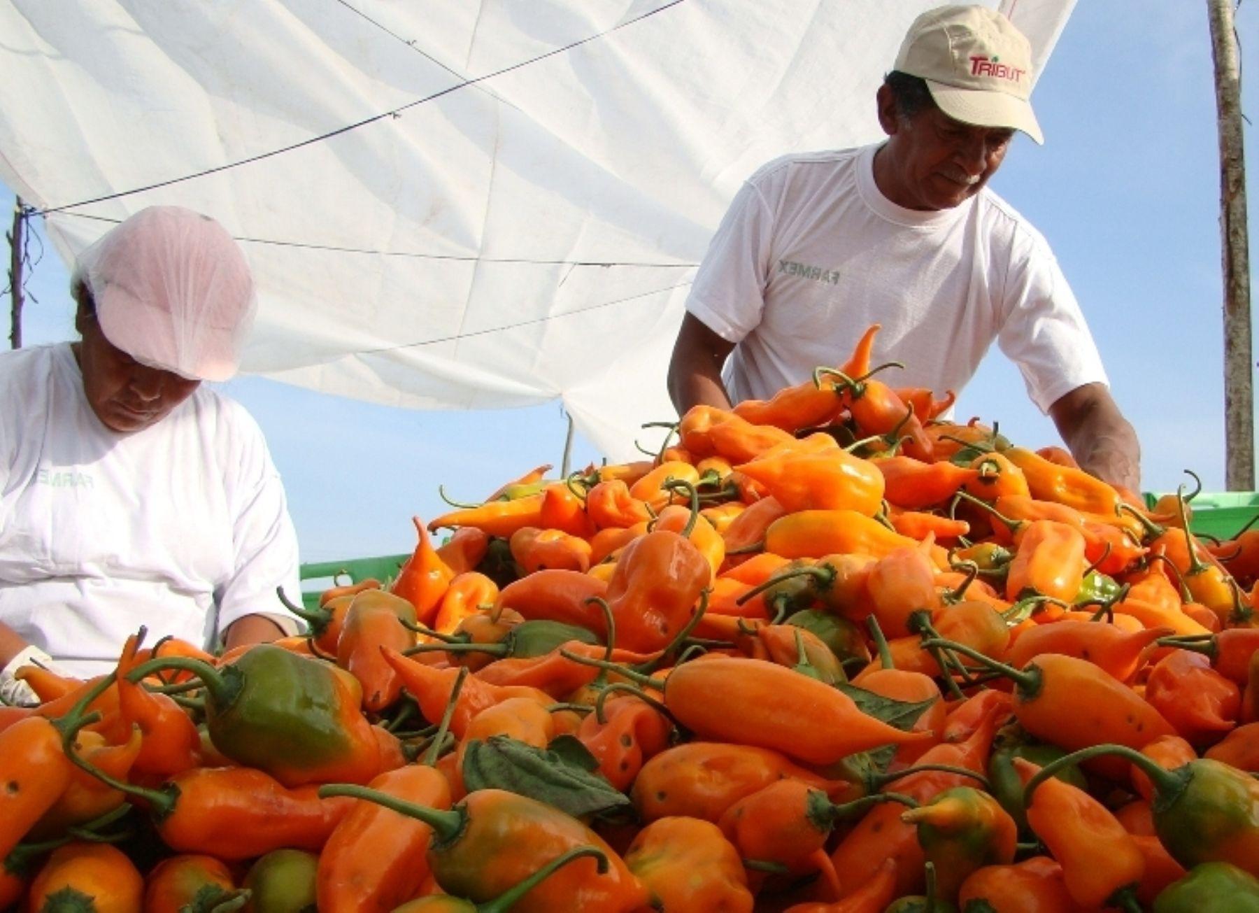 Cosecha de ají amarillo peruano.Foto:  ANDINA/Difusión.