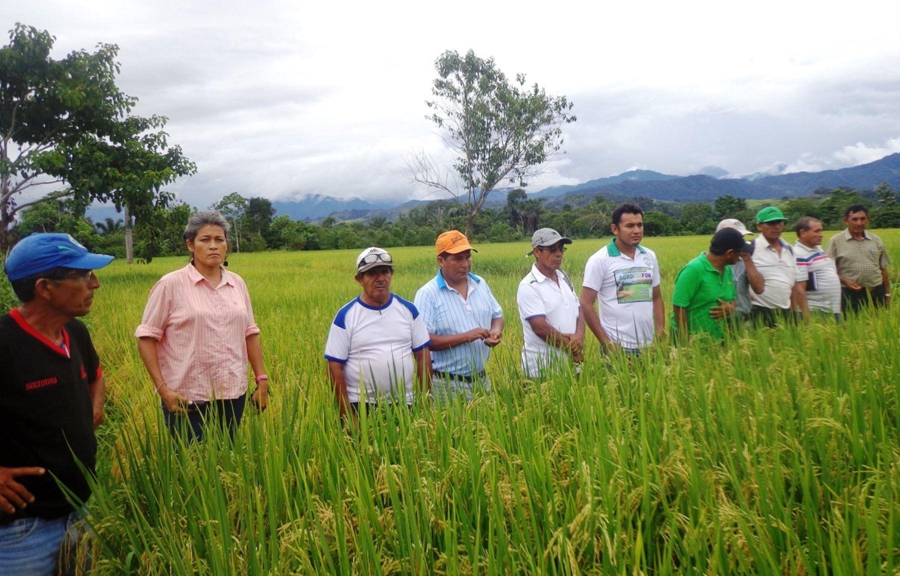 Productores de arroz de Tocache, San Martín, son capacitados para combatir la presencia de plagas. ANDINA