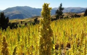 Impulsan producción de quinua orgánica en Jauja, Junín. ANDINA