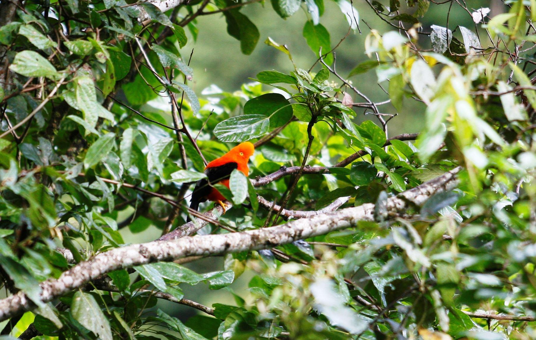 El hábitat del gallito de las rocas es la espesura del bosque amazónico. ANDINA/archivo