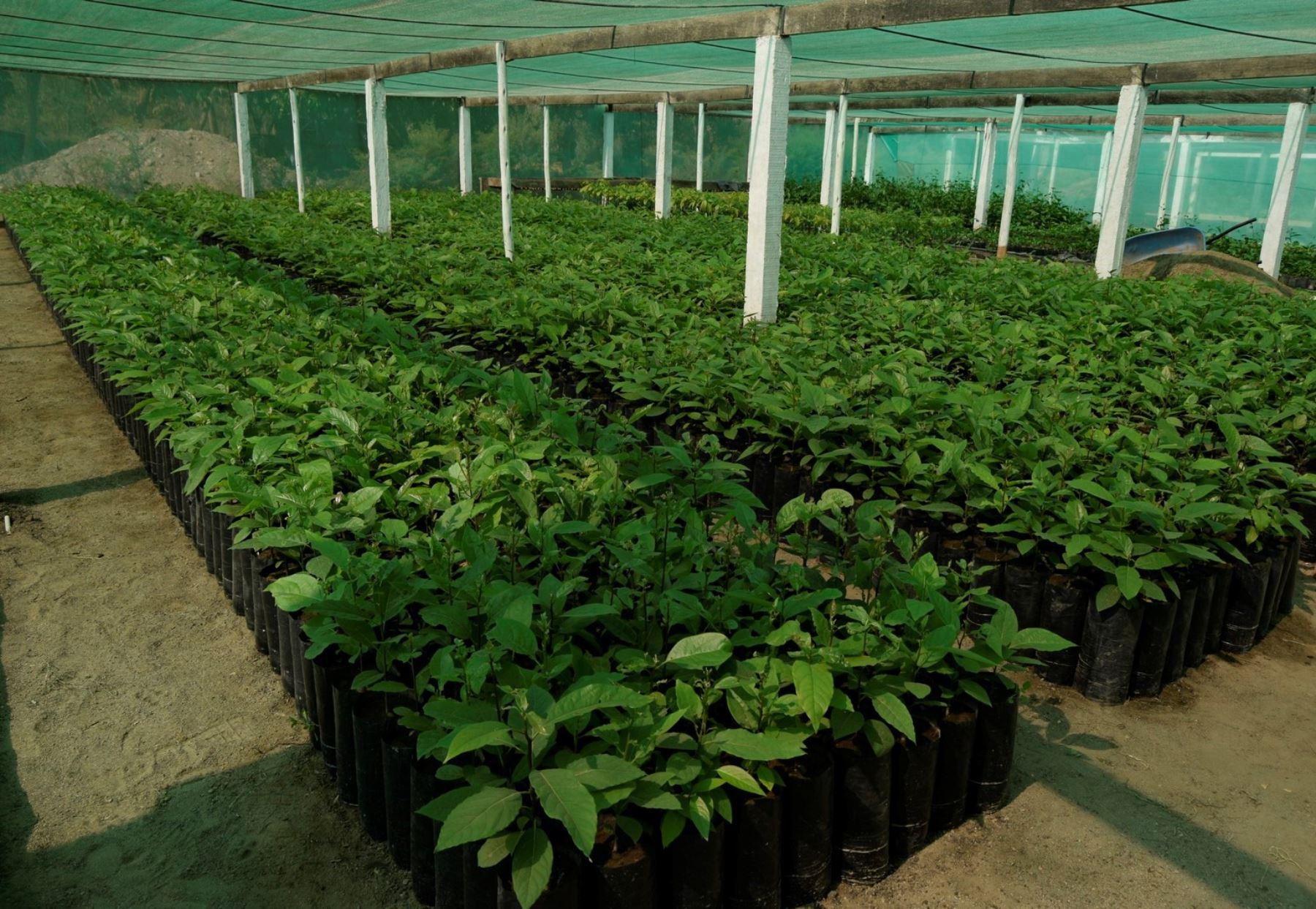 bambamarca instalar un vivero frut cola para mejorar sus