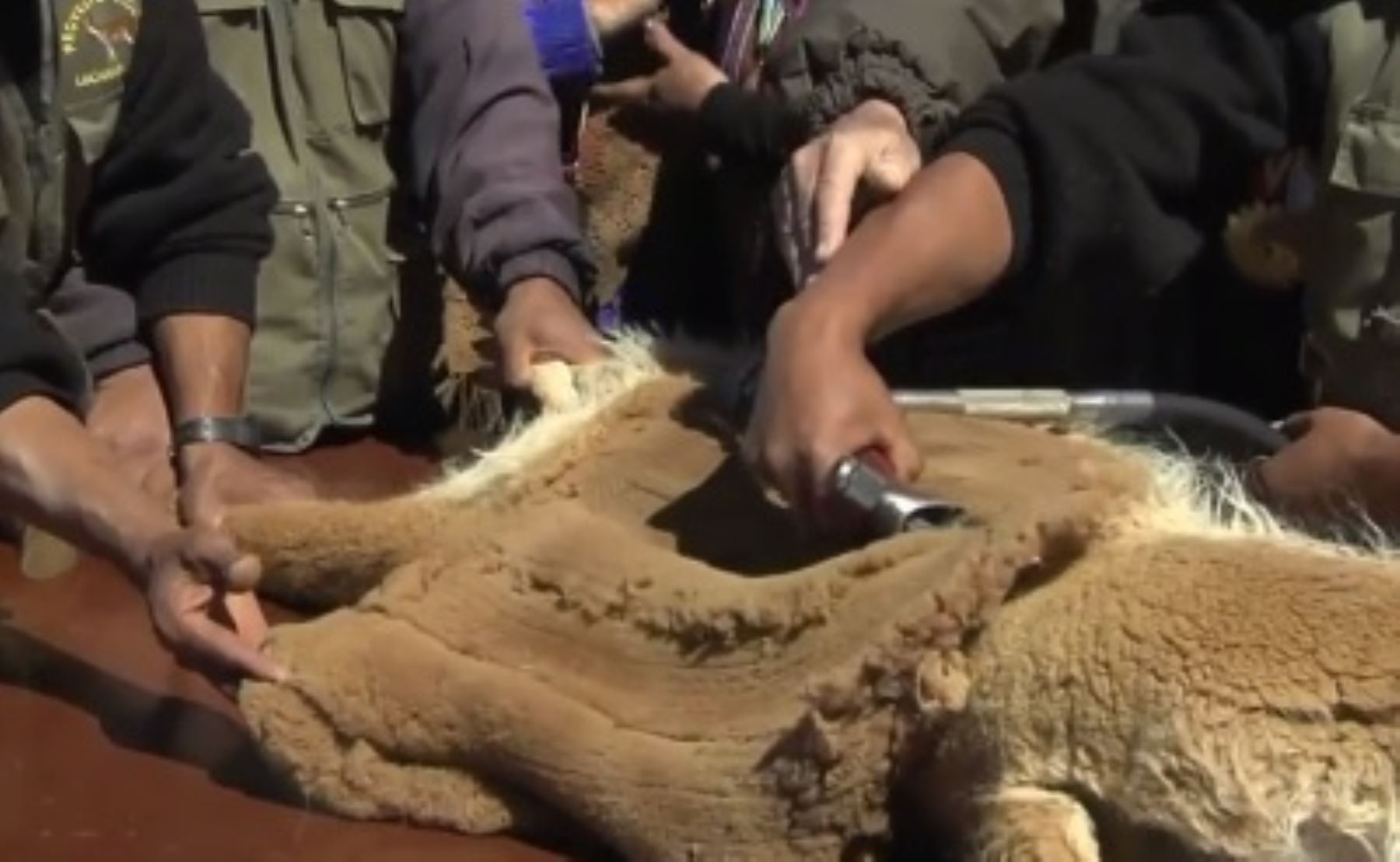 Esquila de vicuña en ceremonia por el 50 aniversario de creación de la Reserva Nacional Pampa Galeras Bárbara D