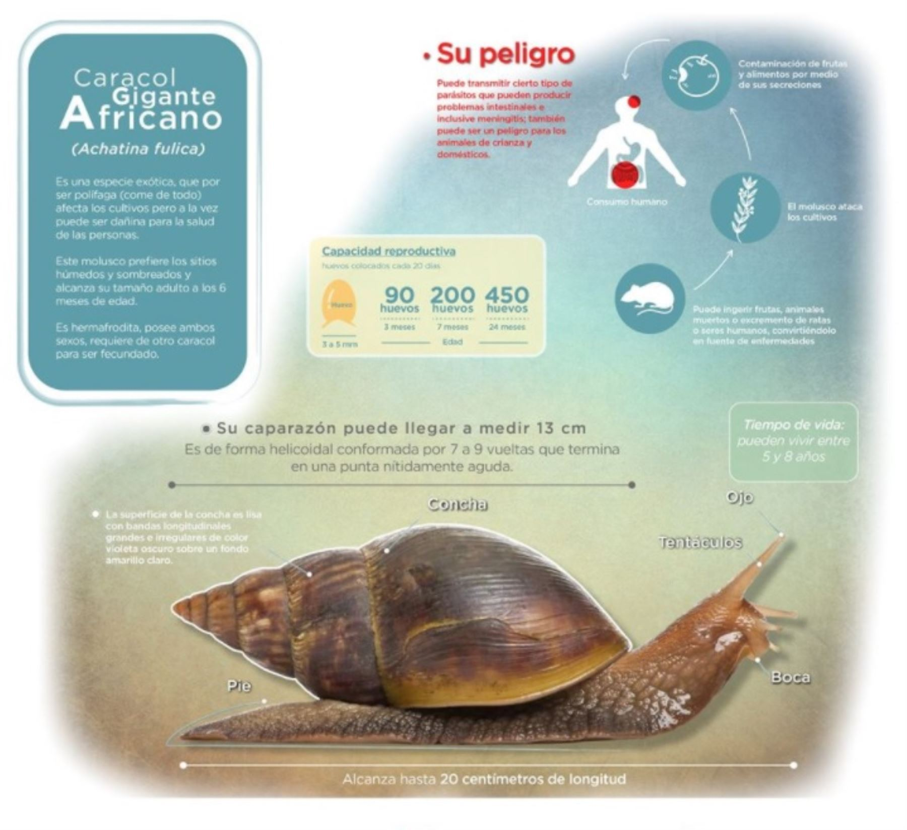 El Servicio Nacional de Sanidad Agraria (Senasa) explica características del caracol gigante africano.