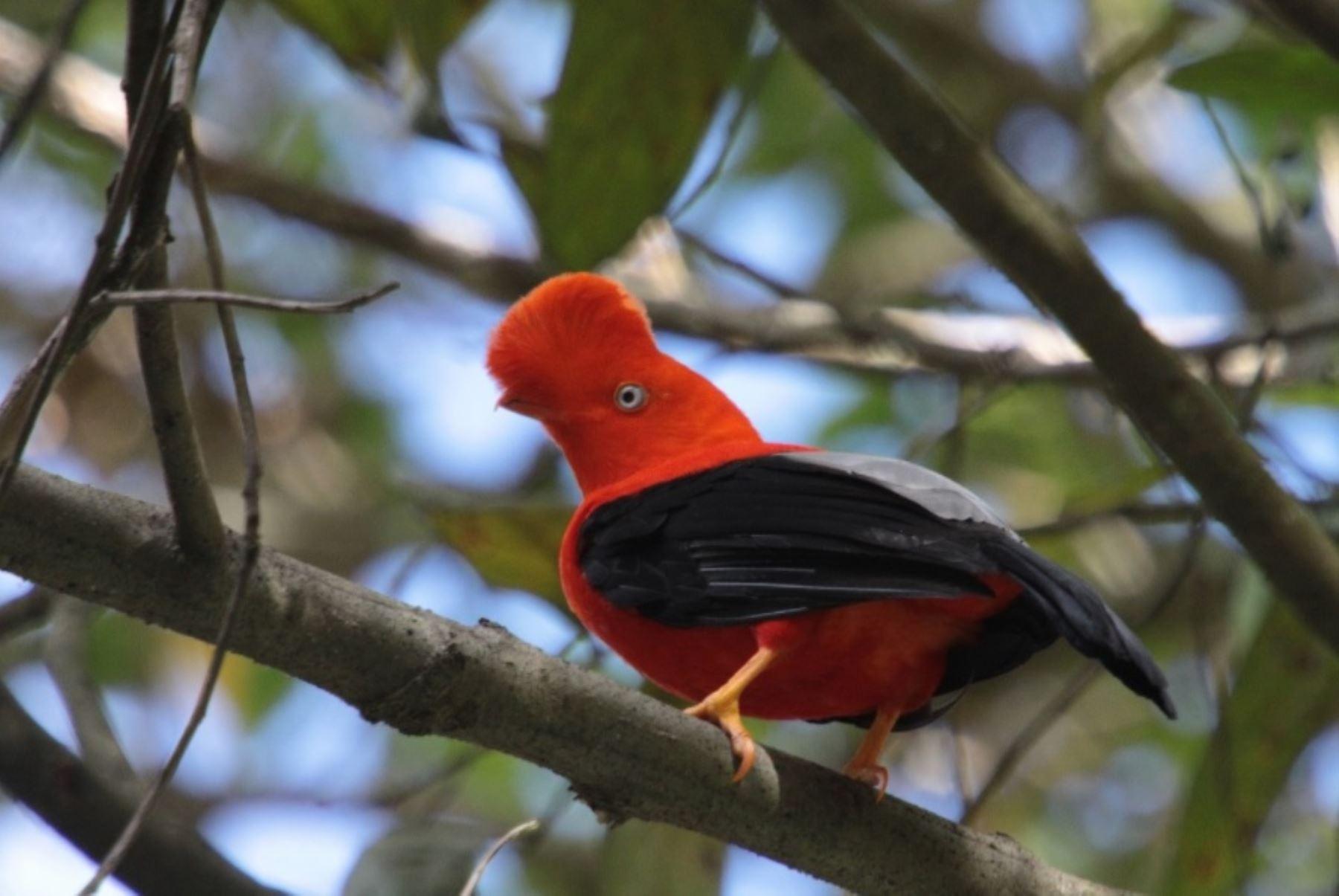 Gallito de las rocas, ave oriunda del Péru y emblemática de su gran biodiversidad.