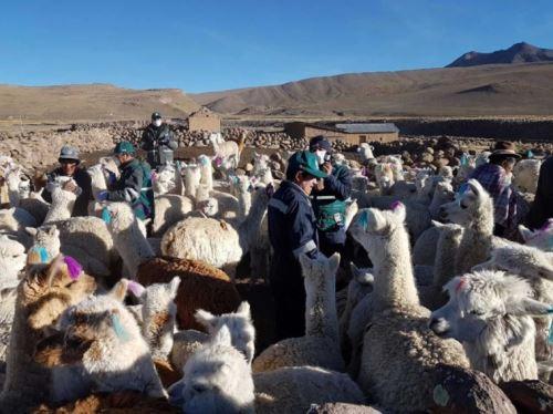 Arequipa distribuirá 22,000 pacas de heno para evitar mortandad de alpacas.Foto:  ANDINA/Difusión.