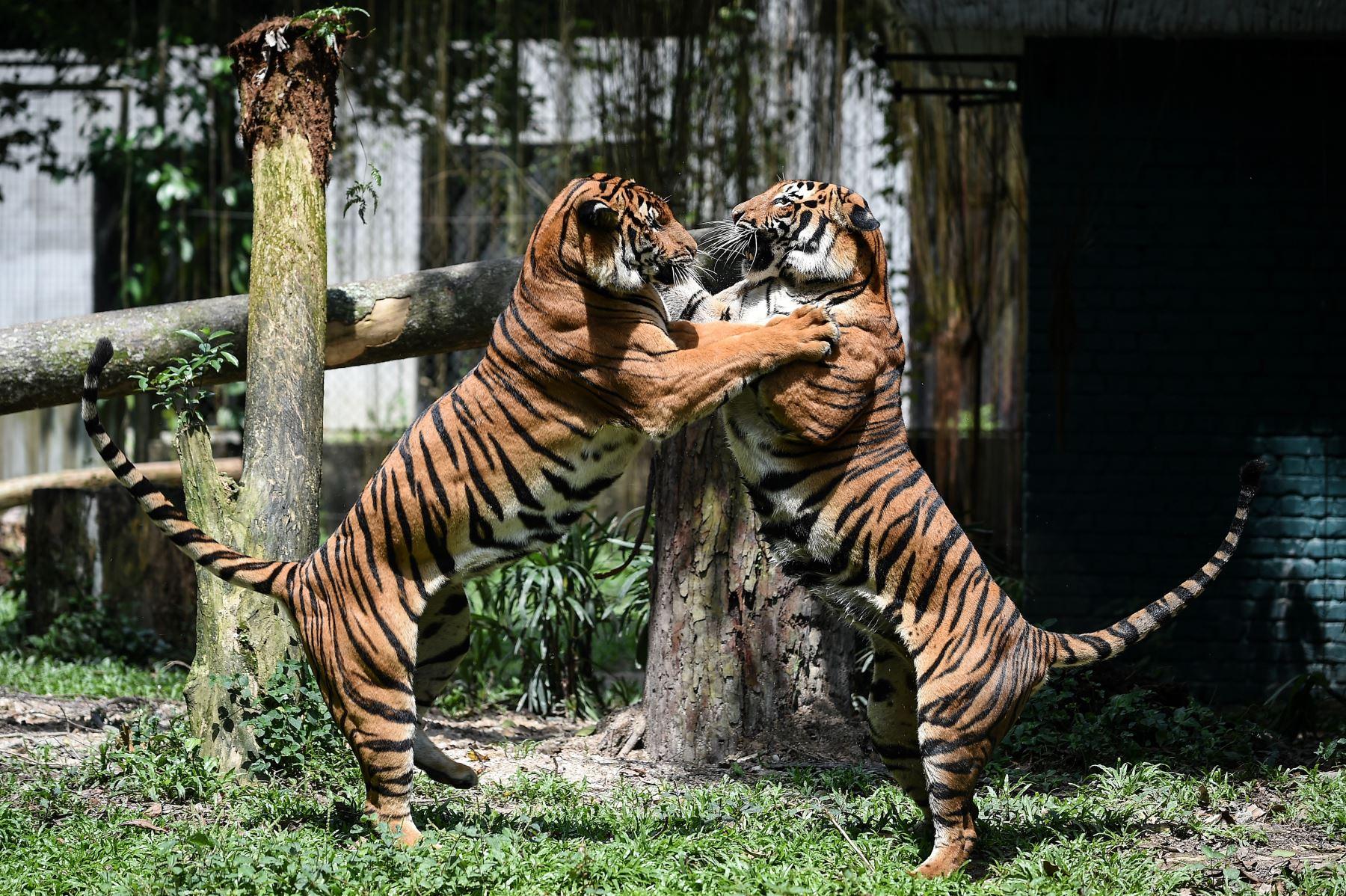 Dos tigres malayos luchan en el zoológico nacional de Kuala Lumpur. AFP