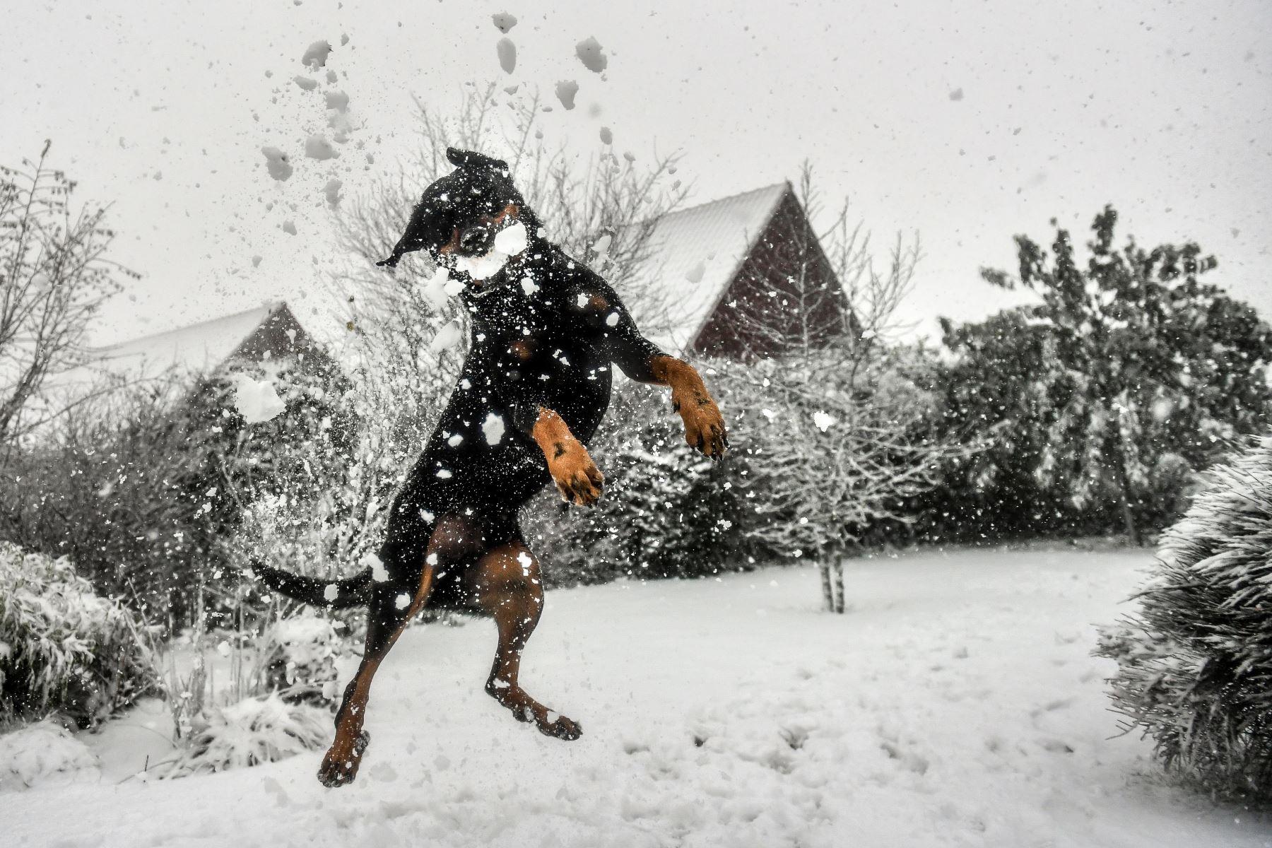 Un perro salta para atrapar una bola de nieve en Francia. Foto: AFP