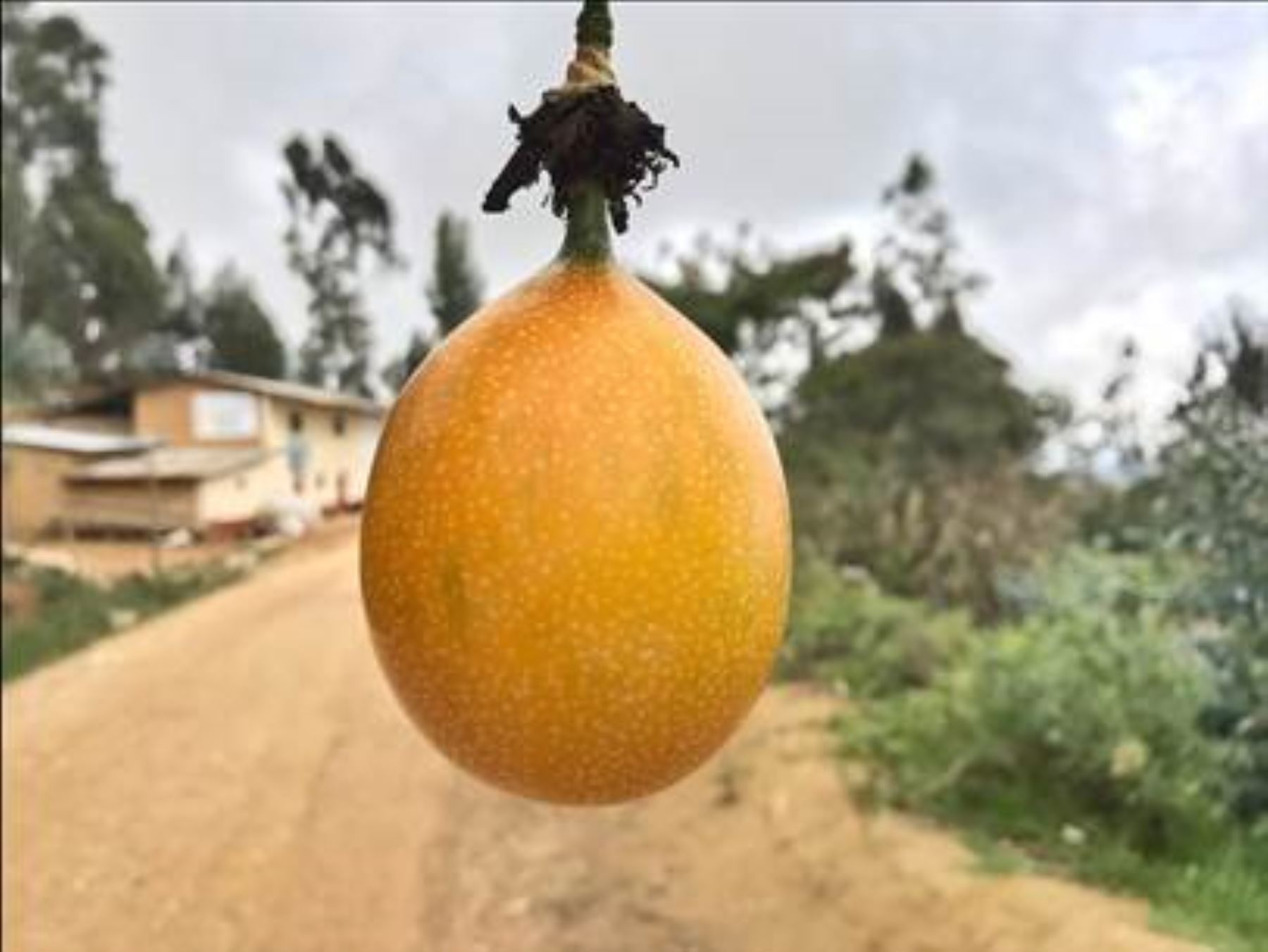 Fruta granadilla.Foto:  ANDINA/Difusión.