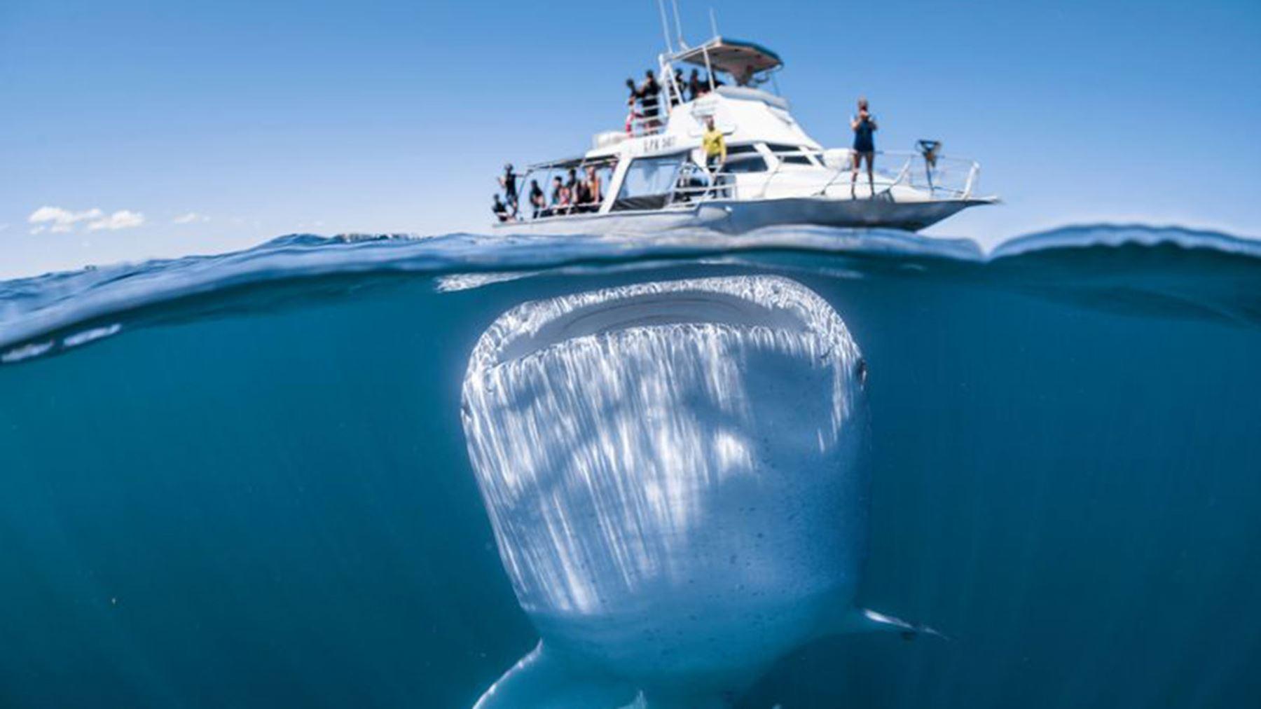 Tiburón ballena juega con turistas en Australia