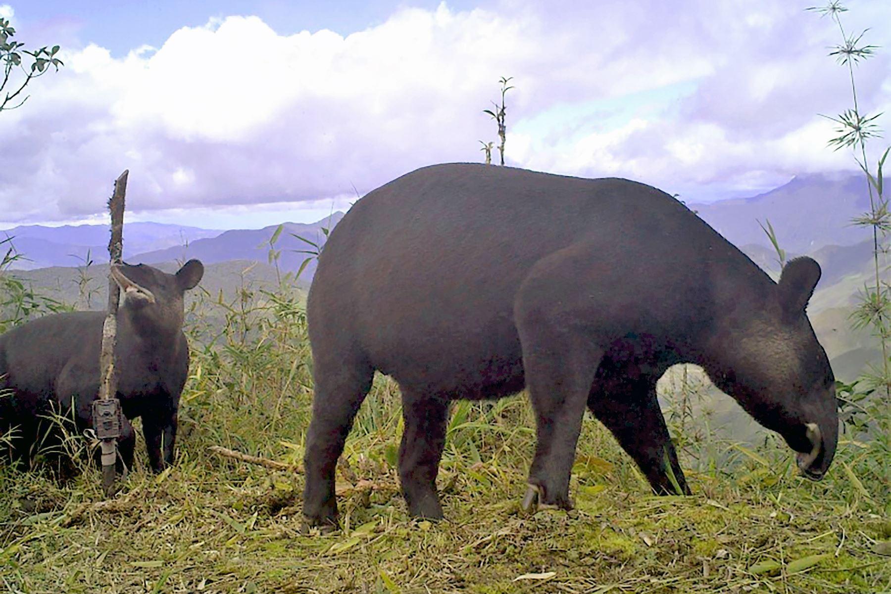 BCR: ponen en circulación moneda alusiva al tapir andino