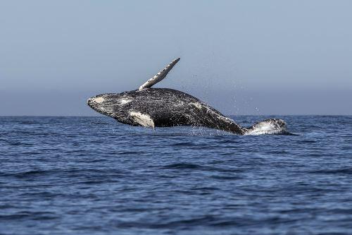 Una ballena jorobada salta en las aguas del océano Pacífico