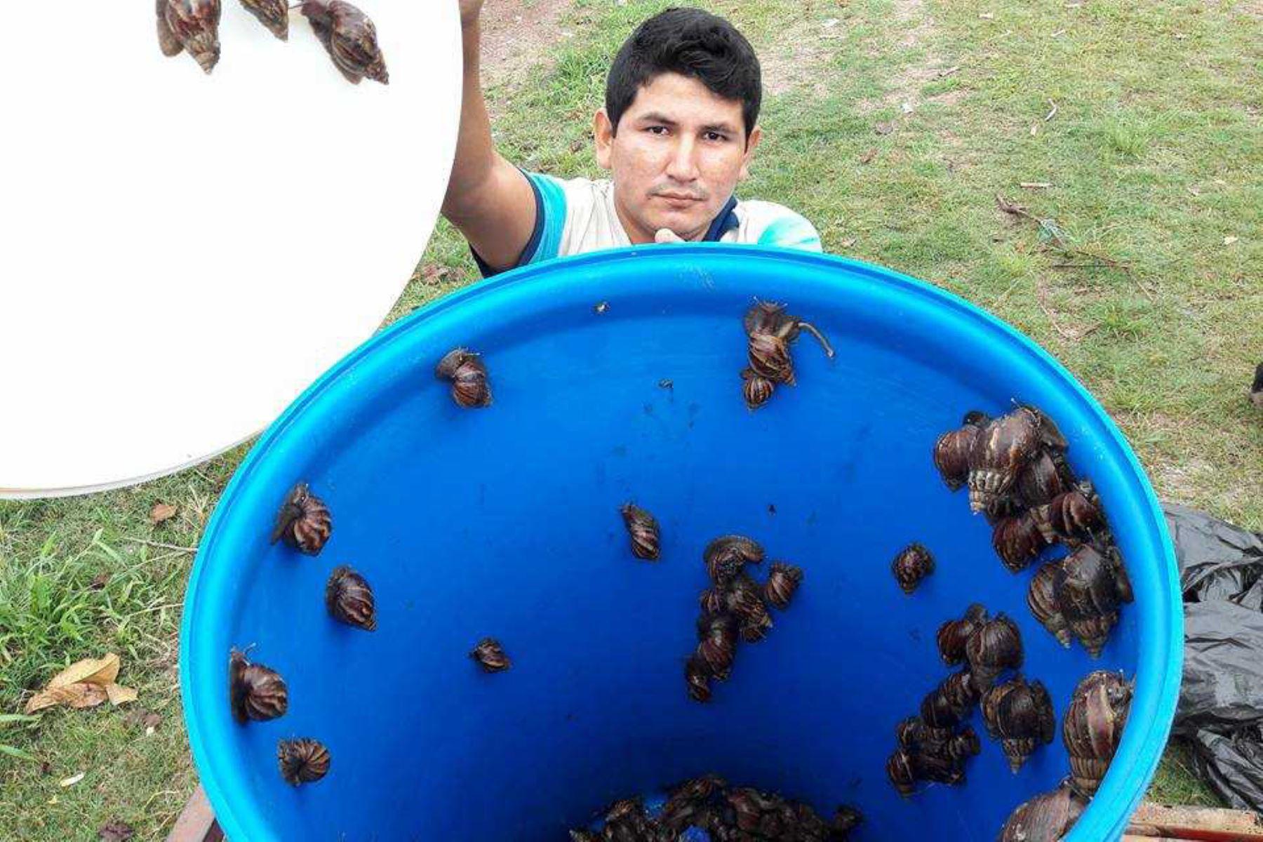 El Servicio Nacional de Sanidad Agraria (Senasa) junto con pequeños agricultores y la población en general sumaron esfuerzos para erradicar la plaga del caracol gigante africano  en Capirushari, uno de los centros poblados del distrito de Mazamari, provincia de Satipo, en la región Junín.