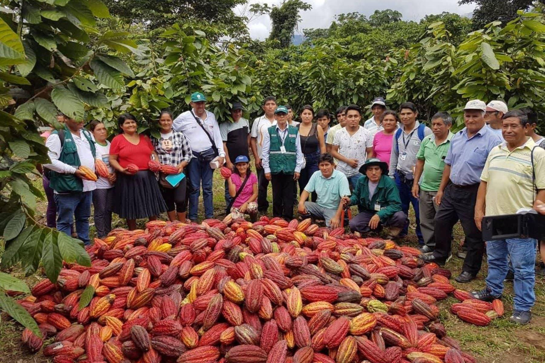 Productores de cacao de Huánuco controlan plaga que afecta cultivo. ANDINA/Difusión
