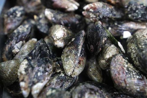 El Organismo Nacional de Sanidad Pesquera (Sanipes) anunció la reapertura del área de producción Escoria en Ilo, región Moquegua para la extracción del recurso hidrobiológico choro (Aulacomya atra) y moluscos bivalvos en general, por no representar riesgo para la salud de los consumidores.