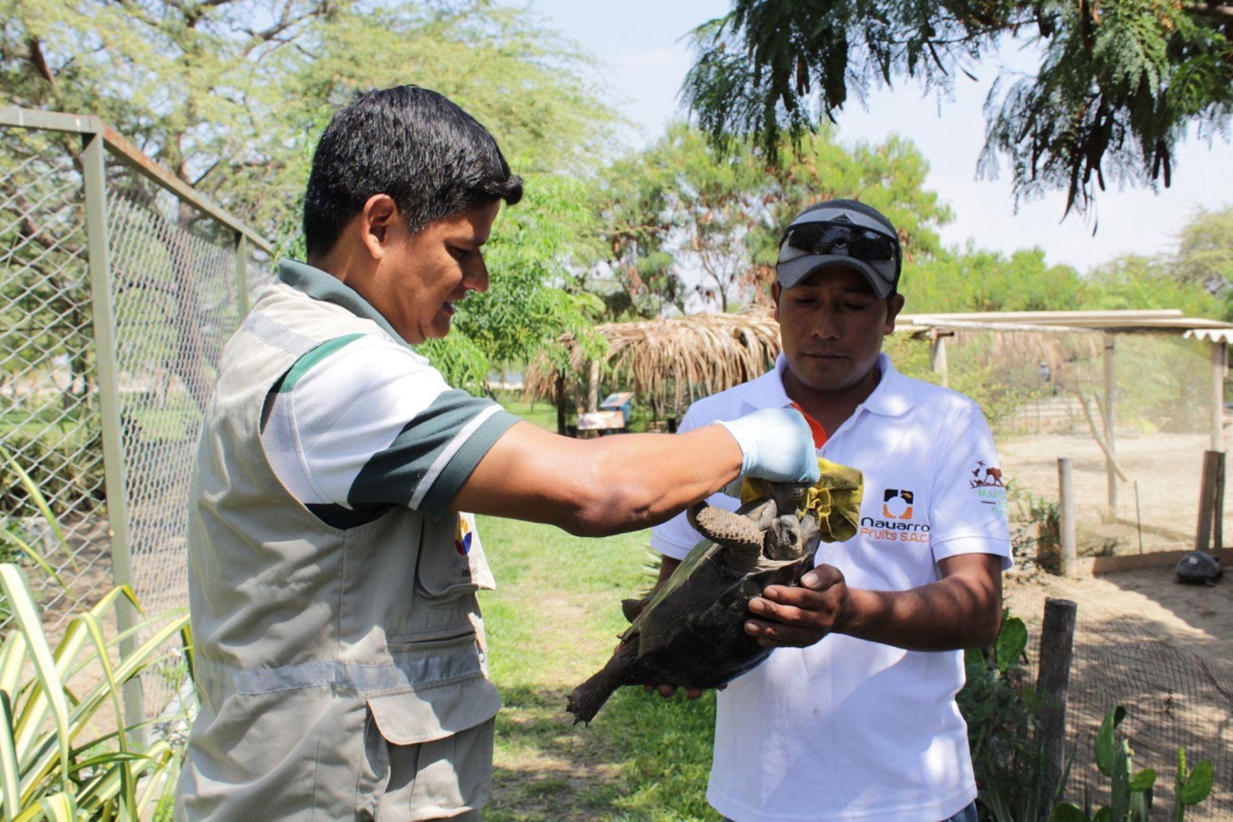 Tortugas galápagos rescatadas en Piura retornan a Ecuador. ANDINA