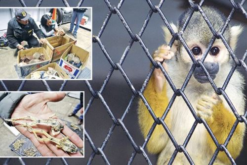 Solo el año pasado se incautaron más de 10,398 animales silvestres. Su comercio ilegal se ha diversificado con nuevas rutas dentro del país. Foto: Serfor