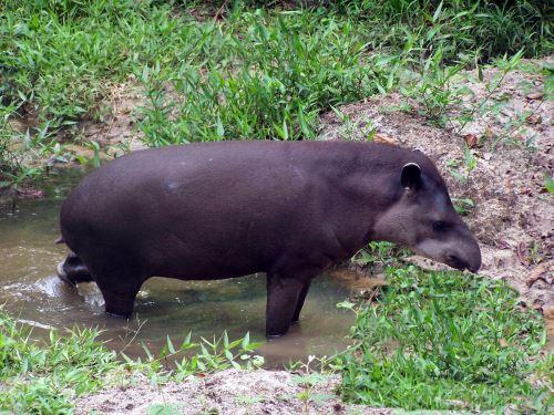 El tapir es una de las especies que habita los bosques que comprende este corredor.