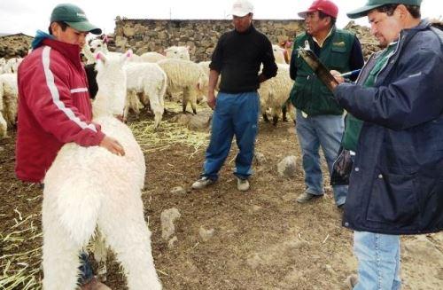Proyecto propone fortalecer la crianza de alpaca en Arequipa y mejorar la producción de fibra.