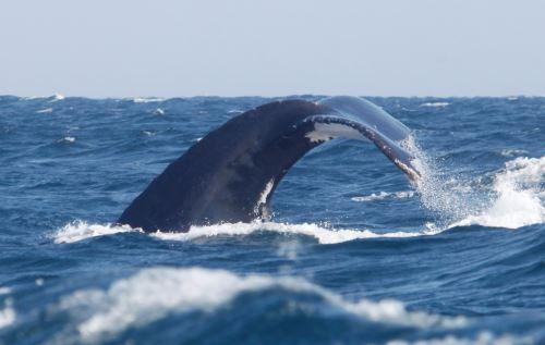 Se recomienda disminuir la velocidad de la embarcación para no aturdir a las ballenas.
