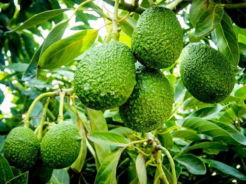 La palta que se produce en Apurímac ya se exporta a diversos mercados.