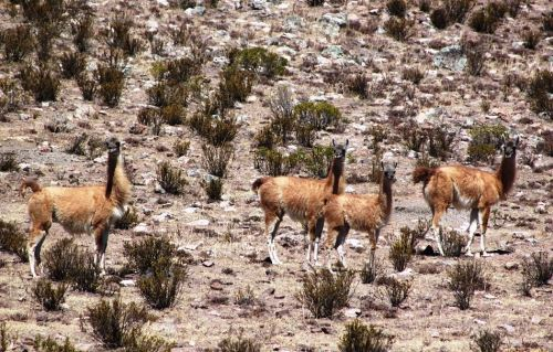 Sernanp postulará al Santuario Nacional Calipuy a la Lista Verde.