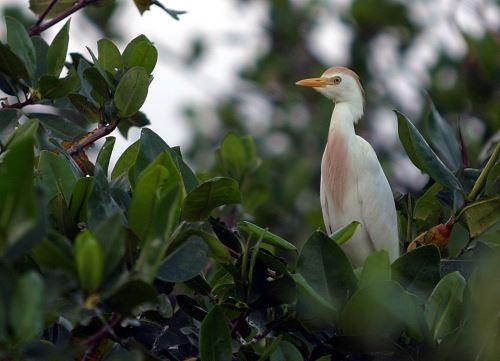 Los Manglares de Tumbes destaca por ser hábitat de diversas especies de aves acuáticas.