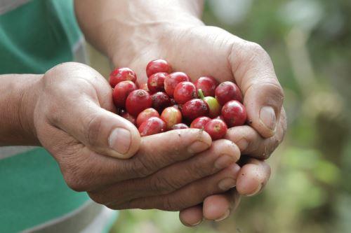 El proceso de producción de café en el Perú es artesanal, eso lo diferencia de otros países.