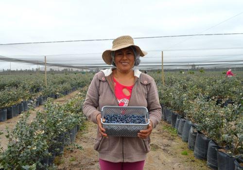 En el Perú se siembra la variedad 'Highbush Blueberries'