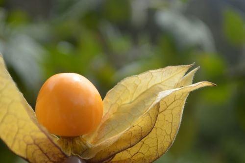 El aguaymanto es un producto nativo de los Andes del Perú.