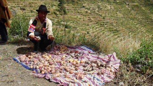 La papa nativa también tiene demanda en el exterior por su producción orgánica.