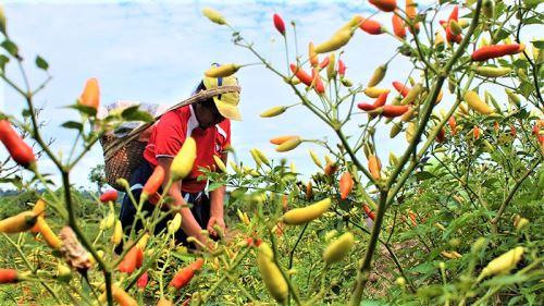 Especialistas del INIA evaluarán el potencial del ají como producto exportable.