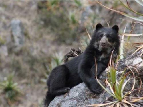 El oso de anteojos es una de las especies que se beneficiarían con esta área de conservación regional.
