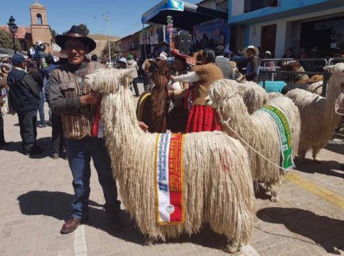 La raza Suri es la segunda con mayor presencia en el Perú.