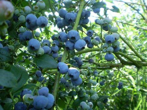 El arándano es el alimento con el mayor poder antioxidante en el mundo.