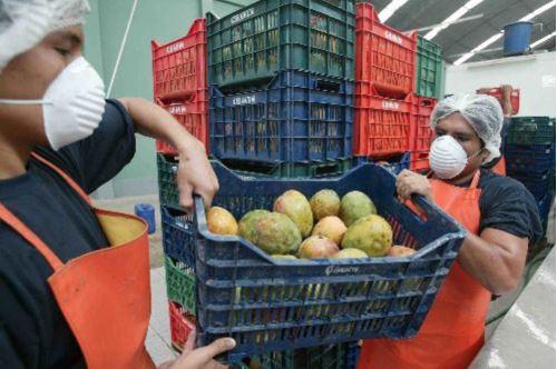 El mango es uno de los productos con mayor potencial exportador de Áncash.