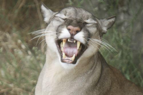 El puma es una especie de la fauna silvestre amenazada protegida por el Estado peruano.