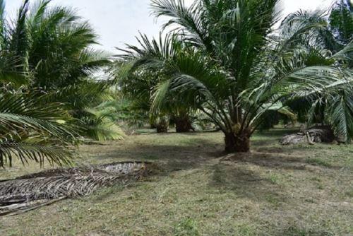 Proyecto plantea utilizar residuos de la industria de aceite de palma.