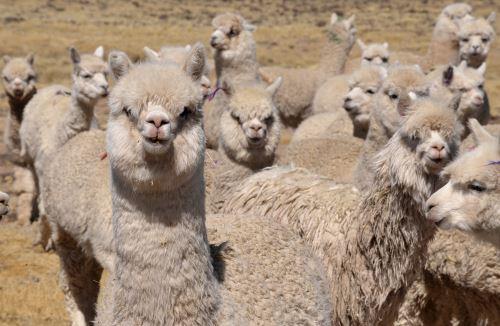 La raza Huacaya es la variedad predominante de la alpaca en el Perú.