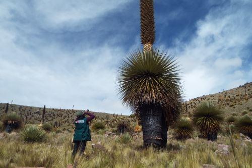La impresionante Puya Raimondi que crece en la sierra peruana.