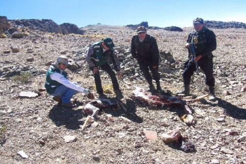 Pobladores denuncian caza furtiva de vicuñas en zonas altas de Arequipa | Noticias