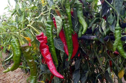 San Martín impulsa el cultivo mejorado de ají en sus diversas variedades.